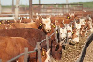 Ферма по разведению крупного рогатого скота