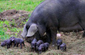 Черная крупная свинья с свинками