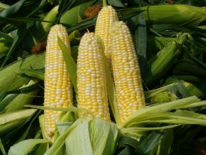 Кукуруза сахарная Брусника