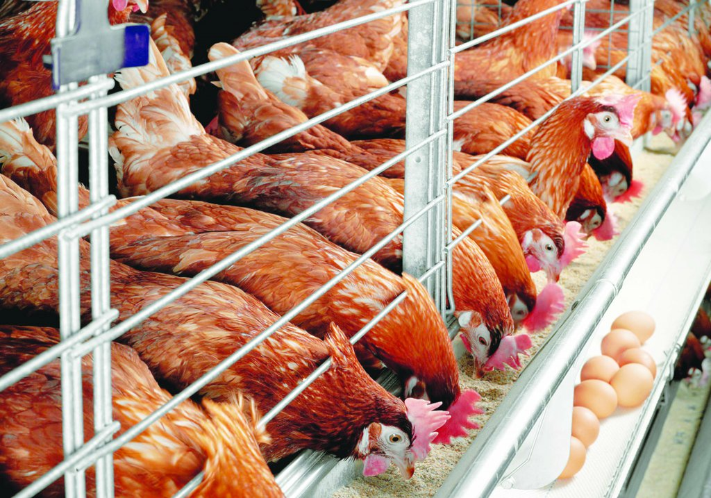 Промышленное куриное птицеводство