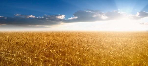 Колос пшеницы