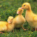 Районы развития птицеводства