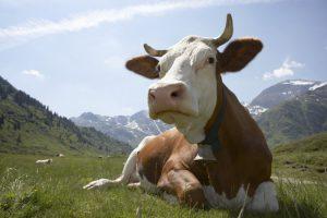 Корова отдыхает на пастбище
