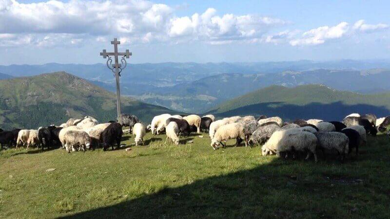 Овцеводство: особенности и перспективы разведения