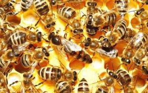 Пчелиная матка и пчелы