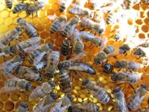 Пчелиная матка с пчелами