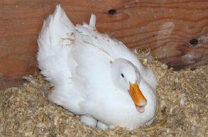Пекинская утка высиживает яица