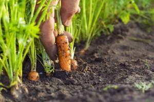 Грядки моркови