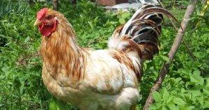 Продуктивные породы кур: особенности разведения и содержания