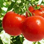 Подготовка почвы к посадке рассады томатов