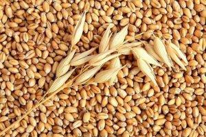 Зерно пшеницы для посева