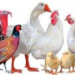 Птицеводство в России: использование инноваций и особенности отрасли