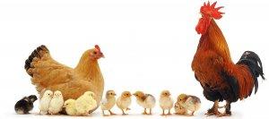 Промышленное птицеводство