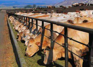 Кормления коров на ферме