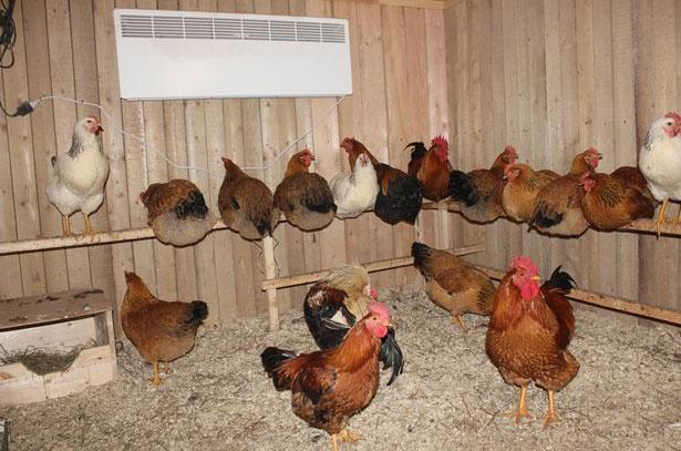 Разведение кур в домашних условиях как бизнес