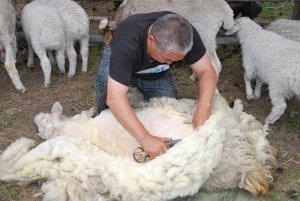 Стрижка овечьей шерсти