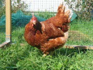 Курица-несушка в изгороди