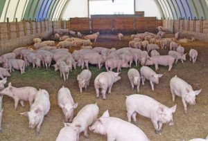 Разведение свиней