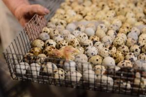 Производство перепелиных яиц