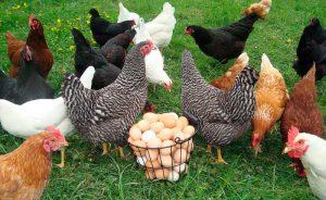 Корзина с яйцами и куры на траве