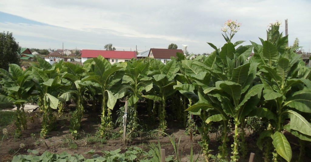Табак выращивание