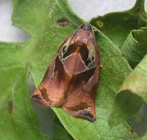 Розанная листовертка