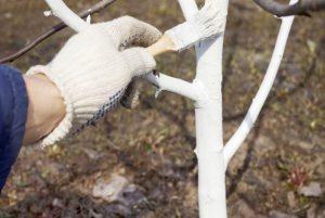 Побелка стволов плодовых деревьев