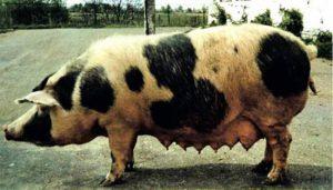 Белорусская черно-пестрая порода свиней