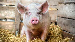 Современная домашняя свинья