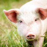 Выведение специализированных типов и линий свиней на кроссбредной основе