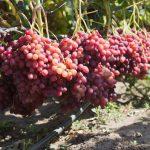 Вредители и болезни плодово-ягодных культур и винограда