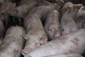 Свиньи беконной породы