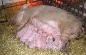 Свинья и приплод после опороса