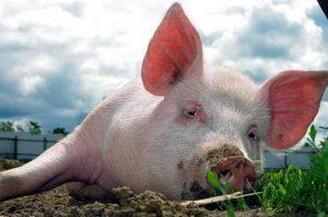 Свинка отдыхает