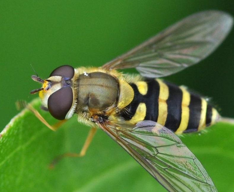 сложно насекомое похожее на пчелу картинки мини-телефоны своим
