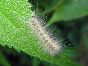Гусеница американской белой бабочкы