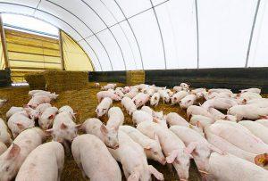 Бонитировка свиней