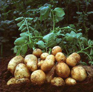 Картофель против тлей