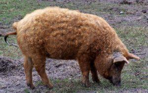 Шерстистая свинья породы Мангалица