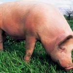 Происхождение и эволюция свиньи