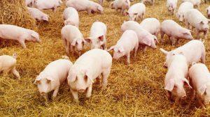 Разведение свине