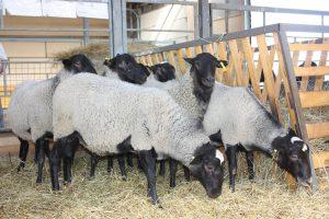 Кормления романовских овец