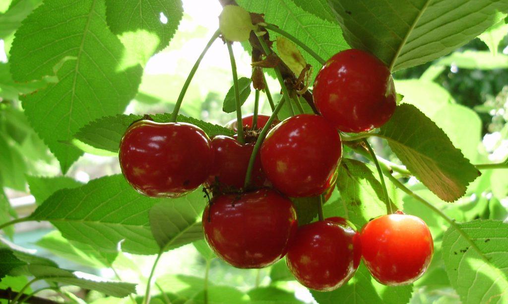 Вредители и болезни семечковых и косточковых культур