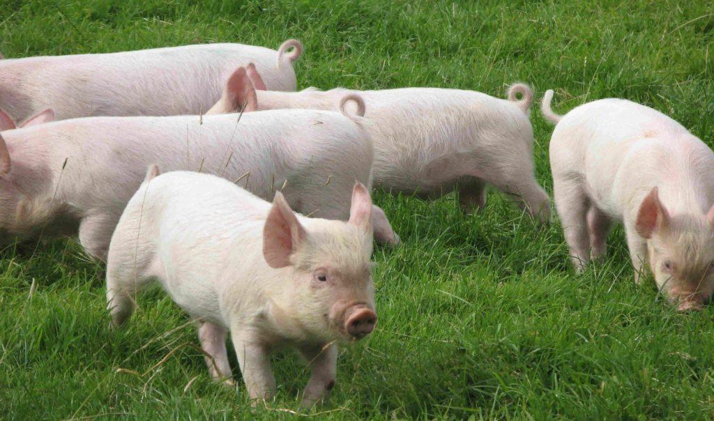 Онтогенез свиньи