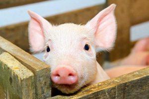 Кормления свиней
