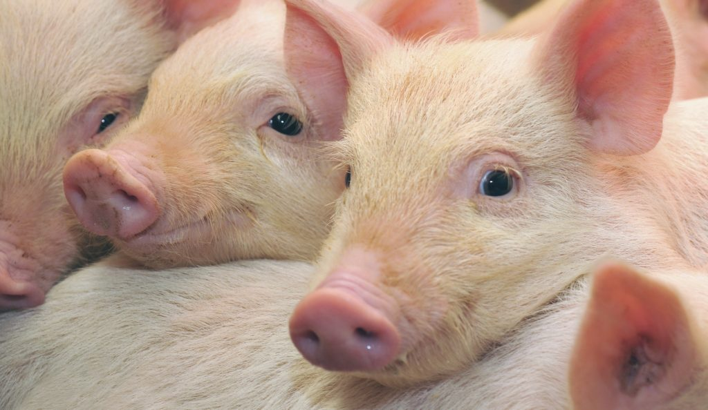 Биология свиньи