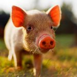 Взаимосвязь конституции, адаптации и продуктивности свиньи