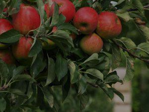 Лепидоцид для защиты яблонь