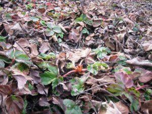 Сухие листья земляники