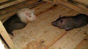 Вьетнамские свинки в новом свинарнике